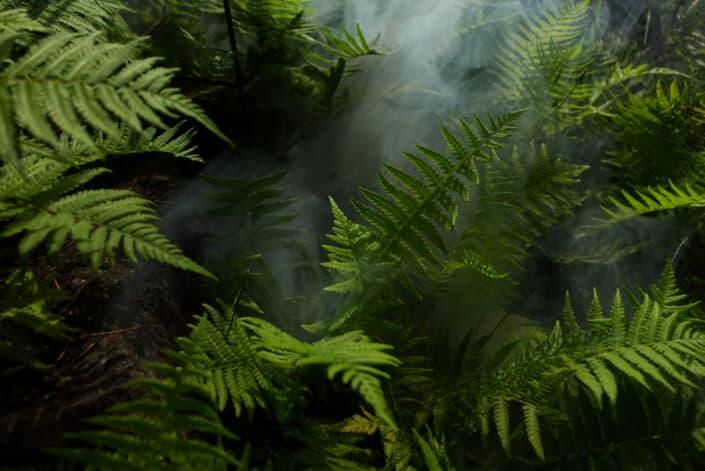 Foggy fern Plants