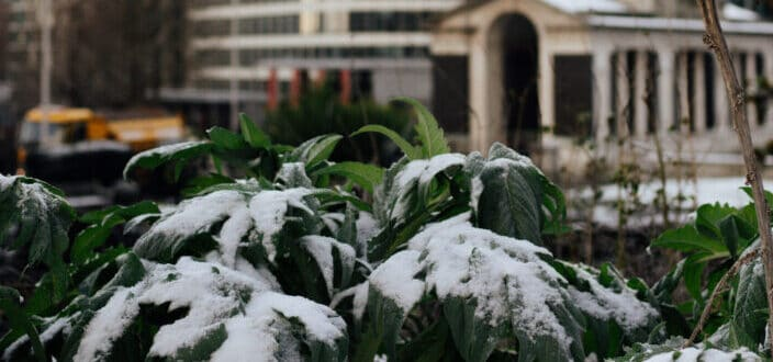 Snowy plant against buildings in the city