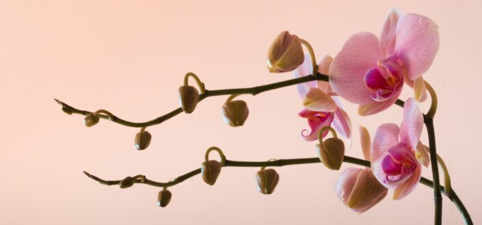 Pink moth orchids in blood during daytime
