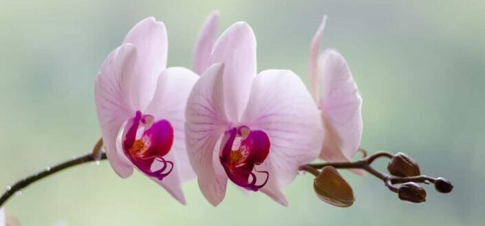 White and pink moth orchid flower