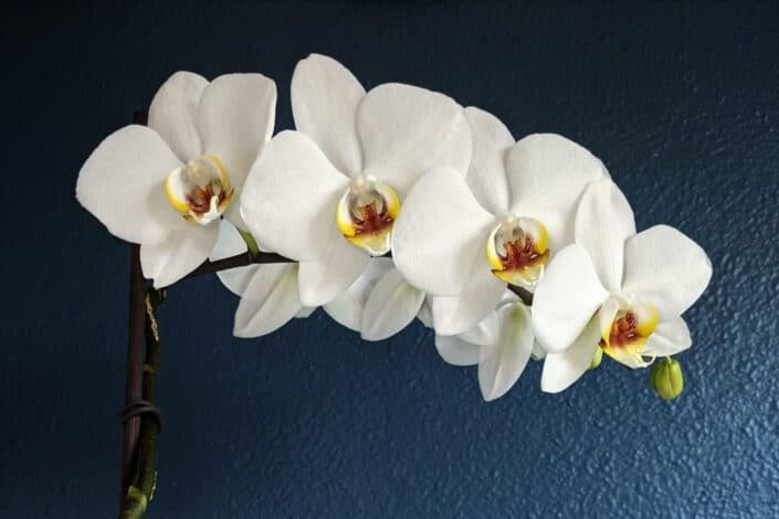 Phalaenopsis orchid with white flowers