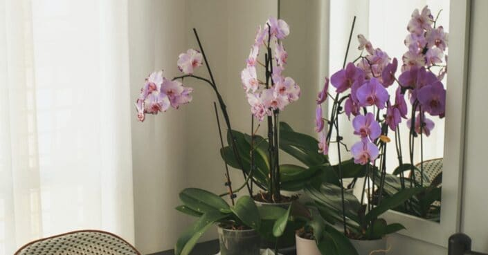 Pink and white flowers of an indoor orchid plant