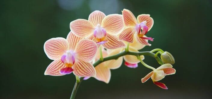 Beautiful orchid flower in full bloom