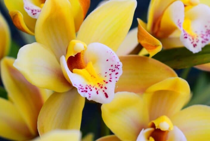 Cymbidium orchids with yellow flowers