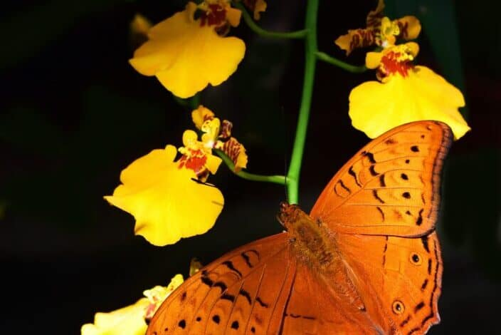 Orange butterfly on a yellow orchid flower