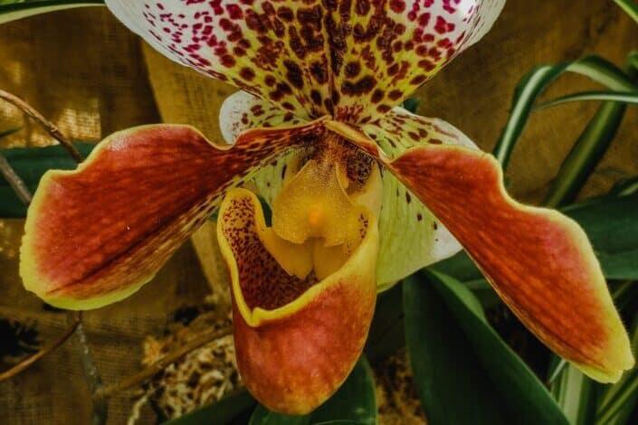 Paphiopedilum or slipper orchid in full bloom