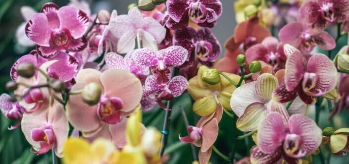 Pink and yellow flowers of an orchid plant